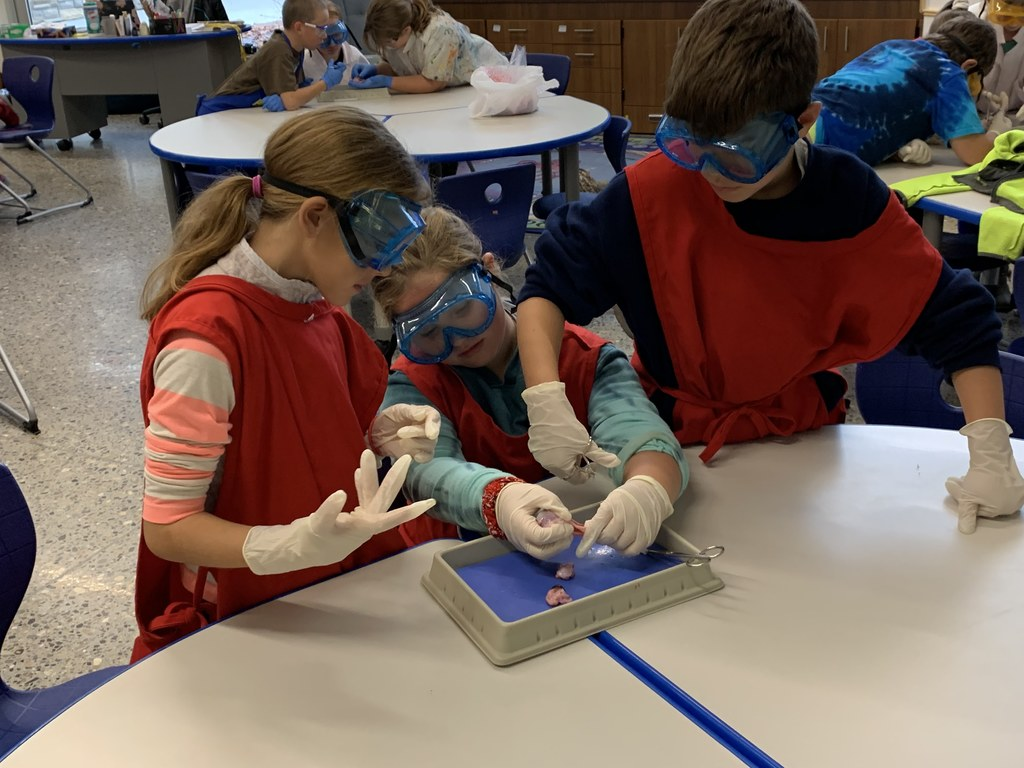 Students dissecting a cow eye.